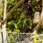 頻繁に出会う猿